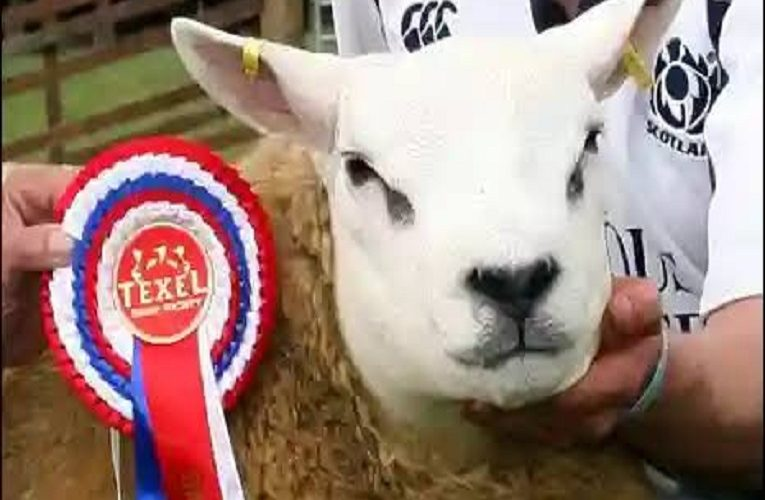world's most expensive sheep purchased for $490,000